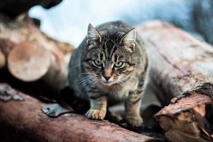 Katze mit bösem Augenfunkeln