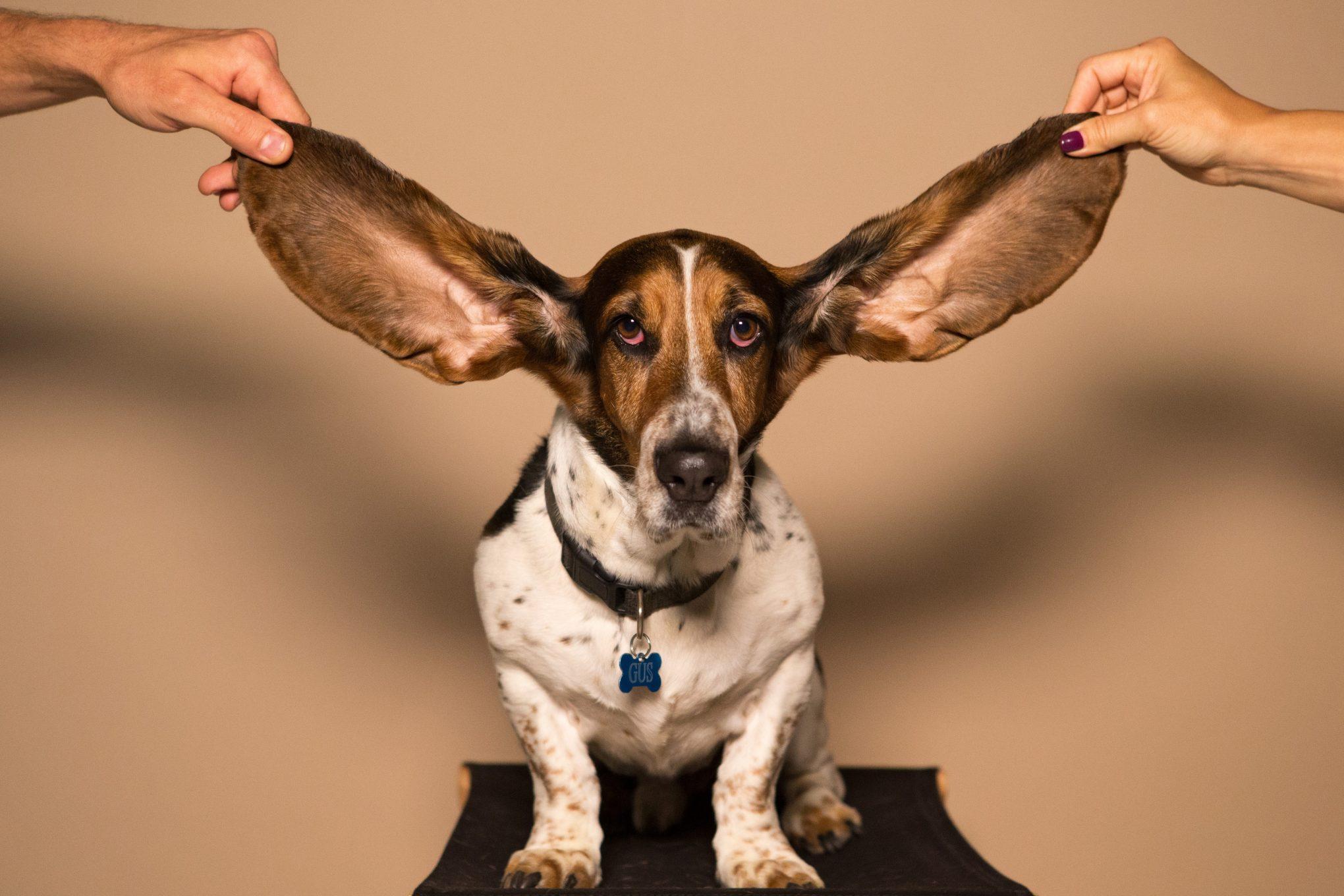 Hund mit großen Ohren