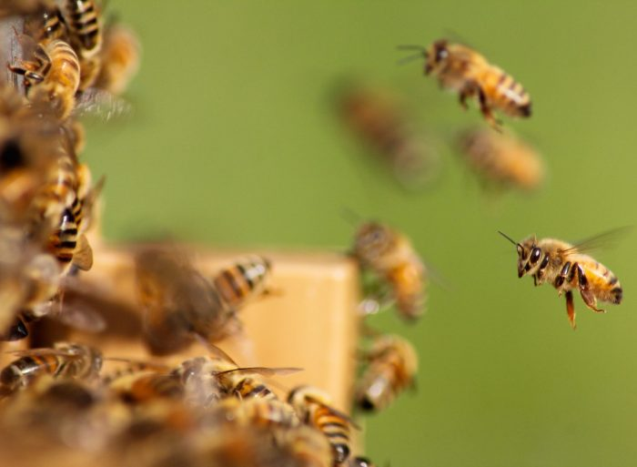 Fridays for Future: ein Bienenschwarm, eine Biene groß und scharf im Vordergrund