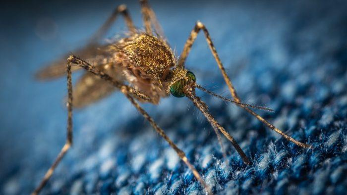 Mücke auf blauem Jeansstoff : wissenschaftlich
