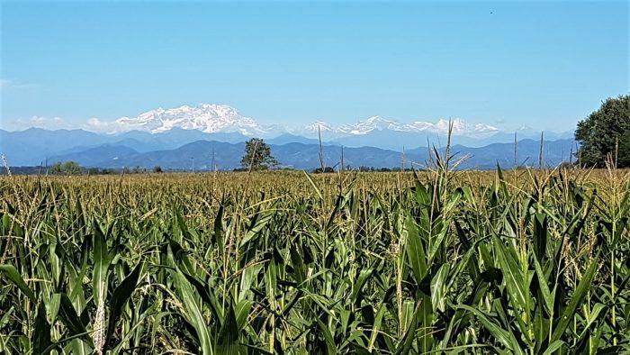 blick über ein maisfeld auf die schneebedeckte alpenkette. Davor die blauen vorberge.