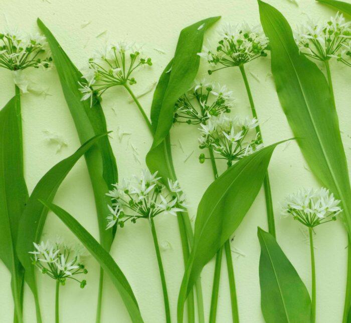 Bärlauchblätter- und Blüten