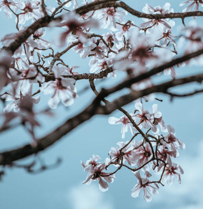 magnolien-blüten-zweig